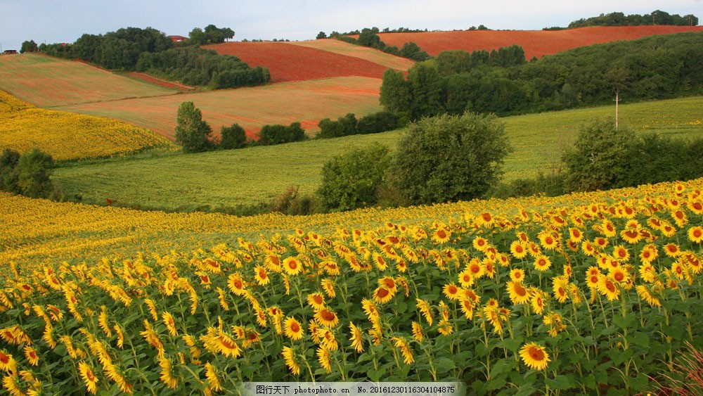 美丽葵花风景图片素材 美丽葵花风景 葵花 向日葵 美丽风景 美景 美丽