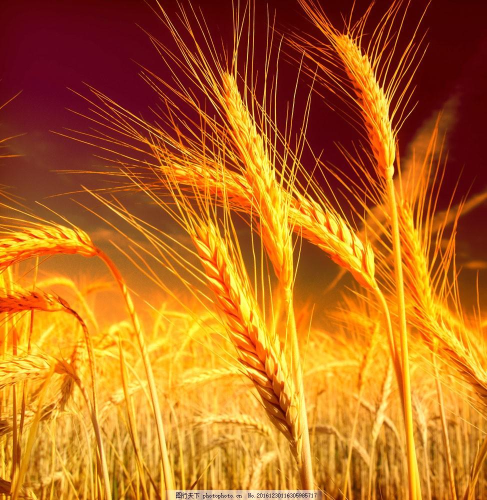 稻田 稻田图片素材 金黄 丰收 稻子 喜庆 山水风景 风景图片