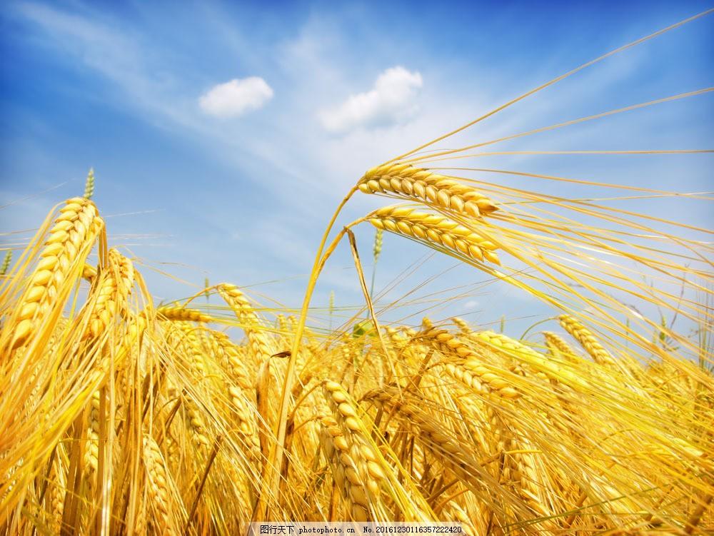 收获 小麦 麦子 金秋 金黄色 农田 小麦特写 田园风光 摄影 山水风景