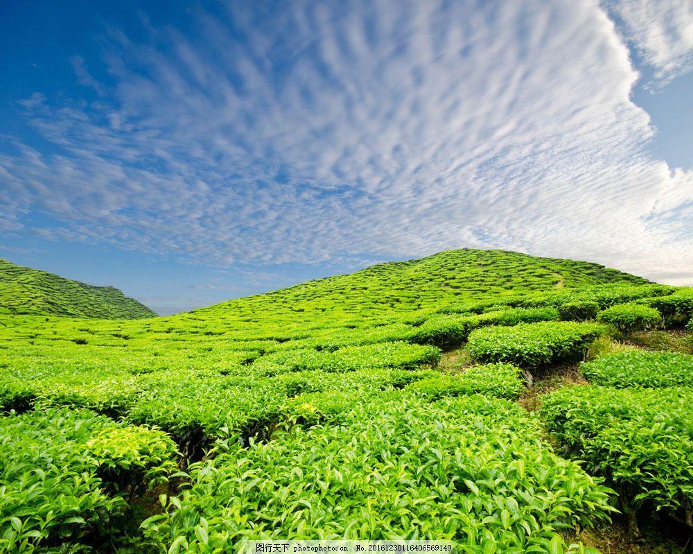 绿茶茶田风景图片