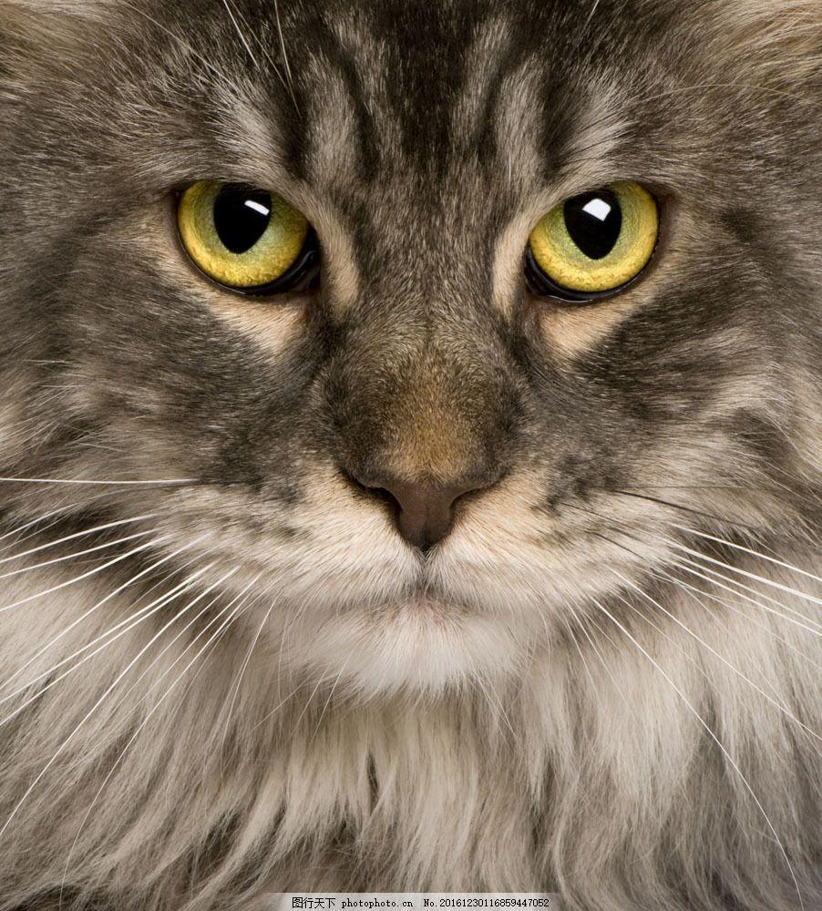 猫咪脸部特写图片素材 猫 小猫 猫咪 宠物 可爱 萌 动物世界 猫咪图片