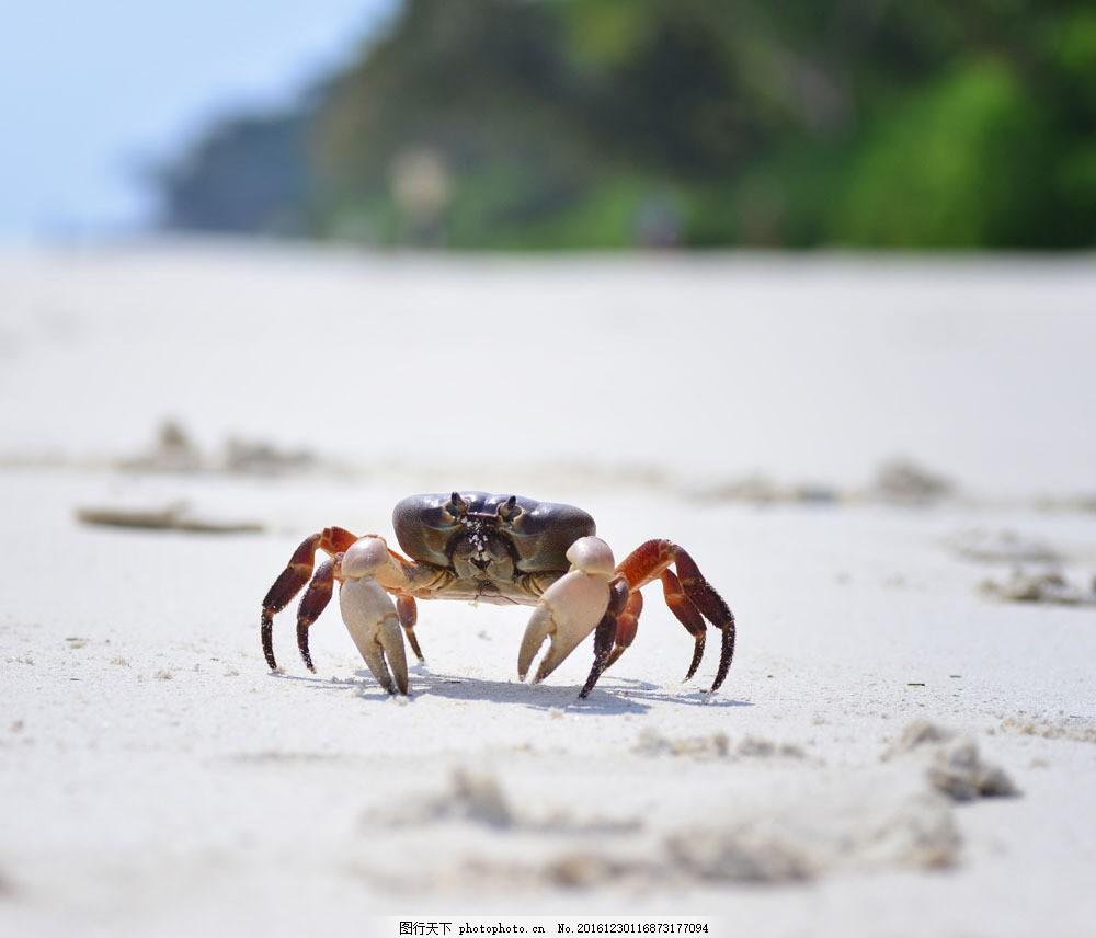 一只螃蟹 一只螃蟹图片素材 海蟹 海洋生物 海底动物 生物世界