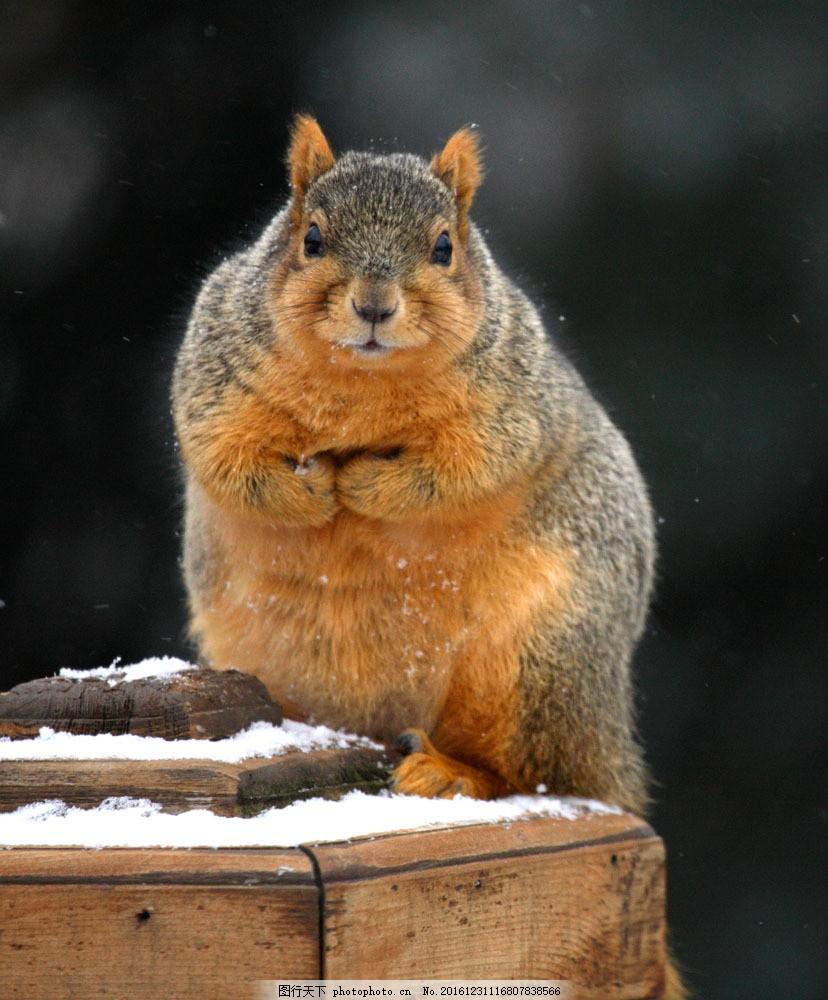 木桩上的可爱小松鼠 木桩上的可爱小松鼠图片素材 鼠科 哺乳动物