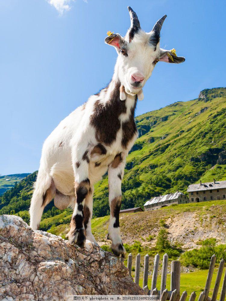 石头上的山羊 石头上的山羊图片素材 动物 野生动物 动物世界 陆地